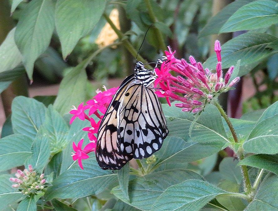 Flit Like a Butterfly / Revolotea Como una Mariposa
