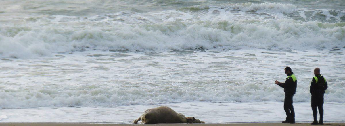 Dead Sea Cow? / Vaca Marina Muerta?