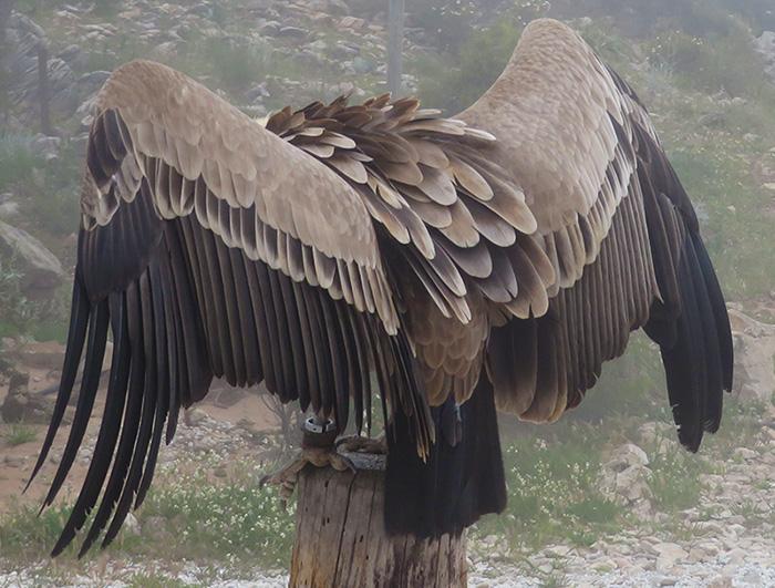 Voracious Vulture / Un Rapaz Rapaz