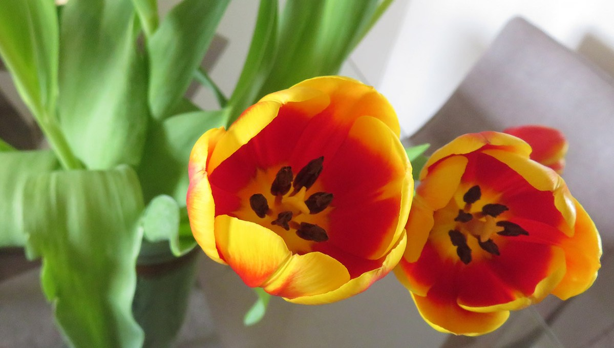 When you wore a tulip / Cuando usabas un tulipán